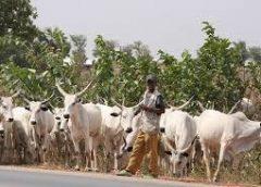 Cattle gone wild, kills owner at abattoir in Ughelli